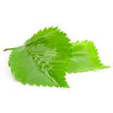 Green wet leaves. Isolated on white background Royalty Free Stock Photography