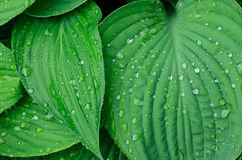 Green wet leaves background Royalty Free Stock Images