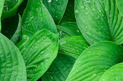 Green wet leaves background Stock Images