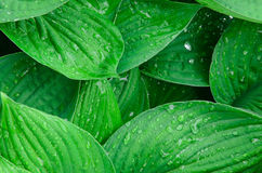 Green wet leaves background Royalty Free Stock Photos