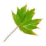 Green wet maple leaf. Isolated on white Stock Photo