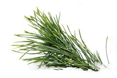 Green wet pine branch over white Stock Photos