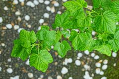 Green wet raspberry leaves on a bush branch. In the garden stock images