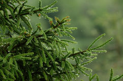 Green wet spruce under drops of rain Royalty Free Stock Photo
