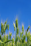 Green wheat Stock Photography