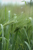 Green wheat. Field with green wheat after rain Royalty Free Stock Photos