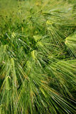 Green wheat Royalty Free Stock Photos