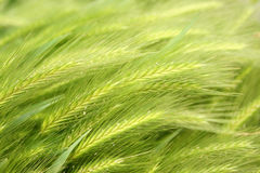 Green wheat Stock Photos