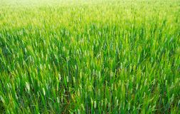 Green wheat Royalty Free Stock Photo
