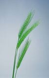 Green wheat. Three fresh ears of green wheat Stock Photo