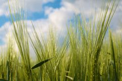 Green Wheat. Closeup against blue sky Royalty Free Stock Photography