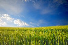 Green wheat Royalty Free Stock Image