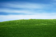 Green wheat. Field with blue and white sky stock image