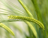 Green wheat Royalty Free Stock Images