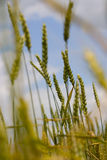 Green wheat. Field of wheat Royalty Free Stock Photos