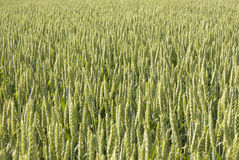 Green wheat. Green immature wheat in the field Stock Image