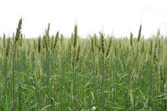 Green wheat on backgraund of sky Stock Photo
