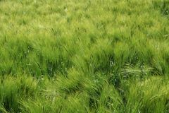 Green wheat background Royalty Free Stock Photography