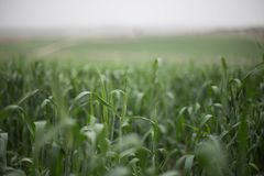 Green wheat background field and countryside scenery dof natural light photography. Green Wheat background open field and countryside scenery dof natural light Royalty Free Stock Images