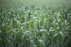 Green Wheat background field and countryside scenery dof natural light photography. Green Wheat background open field and countryside scenery dof natural light Royalty Free Stock Photo