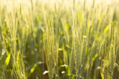 Green wheat in backlight. Green wheat field in backlight Stock Photo