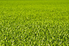 Green wheat or barley leaves Royalty Free Stock Images