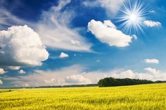 Green wheat and beautiful blue sky. Royalty Free Stock Images