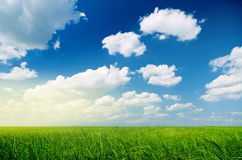 Green wheat and beautiful sky Stock Image