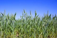 Green wheat and blue sky Stock Photo
