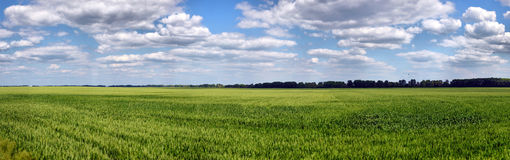 Green wheat on blue sky Royalty Free Stock Images