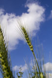 Green Wheat on blue sky background Stock Photos