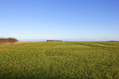 Green wheat and blue sky. Green winter wheat with a hawthorn hedgerow and blue sky on a hilltop in a yorkshire wolds landscape under a clear blue sky in winter Stock Photography