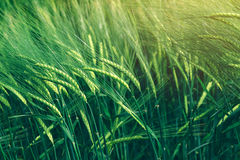 Green wheat cereal crops growing in cultivated field Royalty Free Stock Photography