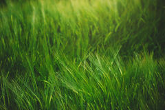 Green wheat cereal crops growing in cultivated field Stock Image
