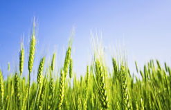 Green wheat and clear sky Stock Photos