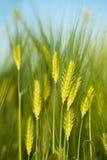 Green wheat close-up. Macro shot Royalty Free Stock Images