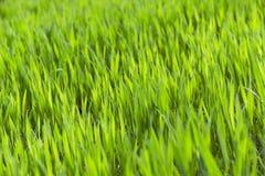 Green wheat, close-up Stock Photo