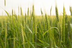 Green wheat close up Royalty Free Stock Photo