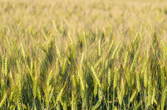 Green Wheat Closeup Royalty Free Stock Photography