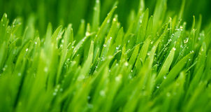 Green wheat covered with morning dew Stock Photos