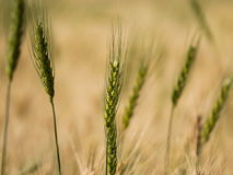 Green wheat ears and golden farm in background Stock Images