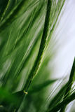 Green wheat in cultivated field as abstract agricultural backgro Royalty Free Stock Image