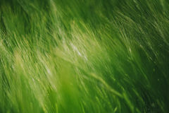 Green wheat in cultivated field as abstract agricultural backgro. Und, selective focus stock photo