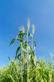 Green wheat and deep blue sky Royalty Free Stock Photo
