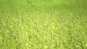 Green wheat stock footage