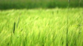 Green wheat stock video