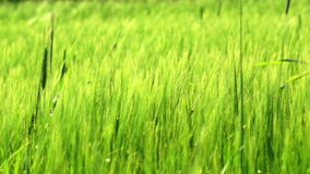 Green wheat. Detail waving on a wind stock footage