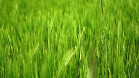 Green wheat. Detail waving on a wind stock video footage