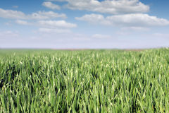 Green wheat with dew and blue sky landscape Stock Photos