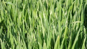 Green wheat with dew stock video footage